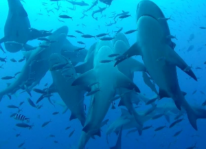 The shark dive